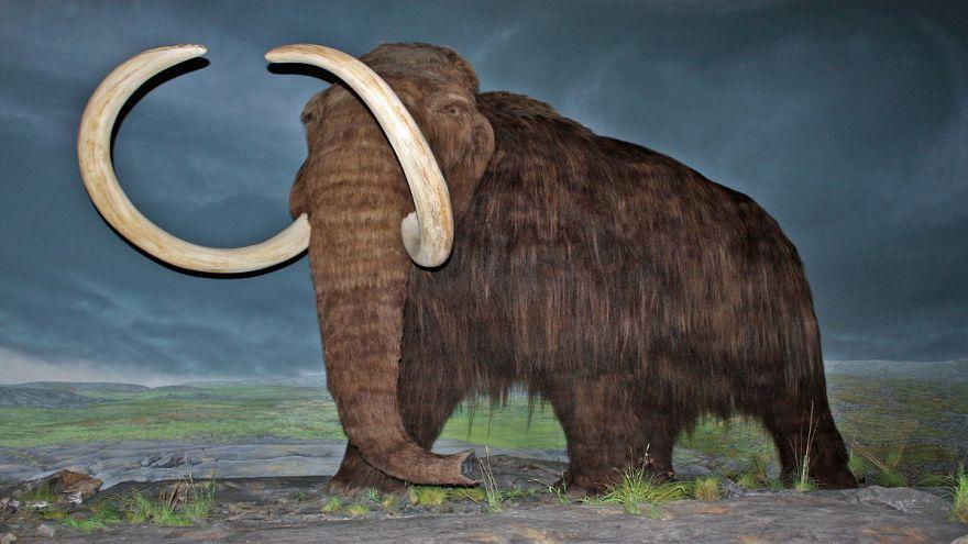 رازگشایی از یک معما: چرا فسیل ماموتهای نر بیش از فسیل ماموتهای ماده است؟