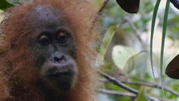 New species of orangutan discovered in Indonesia