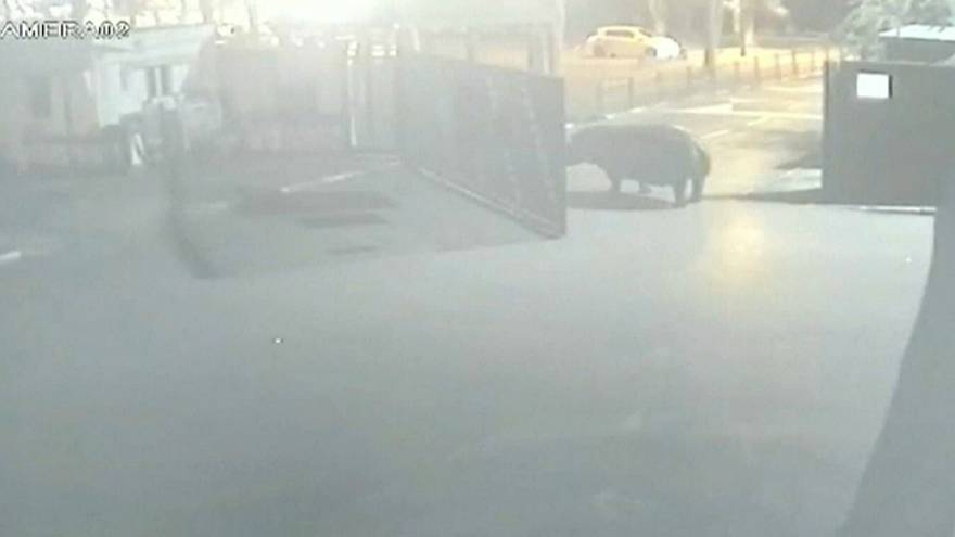 Hippo tastes life outside and decides to return to zoo