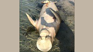 سعودي يعثر على جثة حيوان مائي غريب