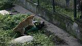 بالصور: نمر يهاجم حارسته أثناء تقديمها الطعام له في حديقة حيوان بروسيا