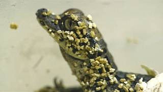 Тупорылыми крокодилами рождаются