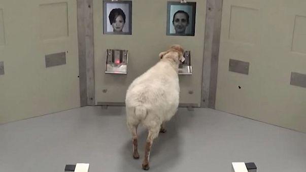 Huit moutons sur dix reconnaissent le visage des personnalités