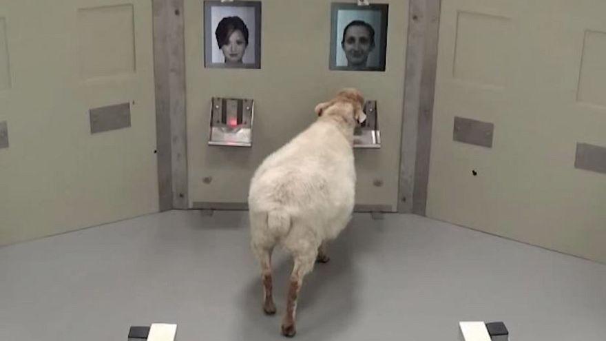 Esperimento conferma: le pecore possono riconoscere le nostre facce