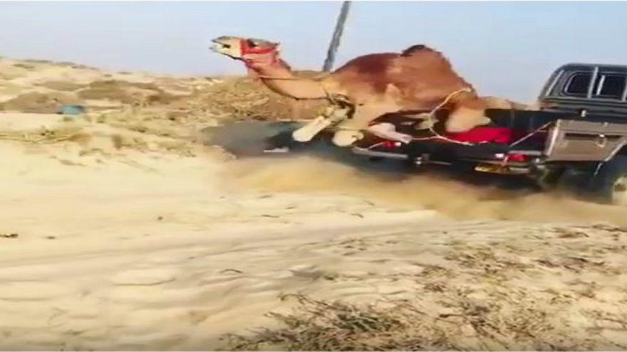 بالفيديو: ناشطون عمانيون ينددون بإلقاء جمل من شاحنة