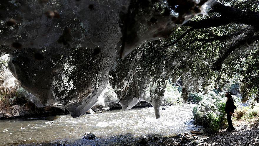 Gruselige Invasion: Wald nahe Jersusalem von Spinnweben durchzogen