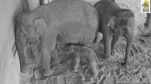Videó - így jött a világra a kiselefánt a budapesti állatkertben