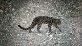رصد نادر لفصيلة من الفهود في محمية بماليزيا