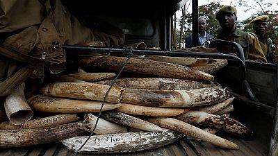 Cameroun : arrestation de trois trafiquants avec 160 défenses d'éléphants