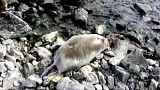 Infektionskrankheit der Grund für Sterben der Baikalrobben