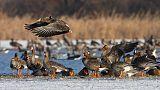 Élőben nézheti, ahogy gyűlnek a vadludak a tatai Öreg-tónál