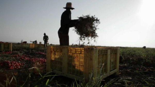 25% der Erntehelfer arbeiten schwarz, viele werden ausgebeutet