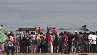 Endonezya'da balinalar karaya vurdu