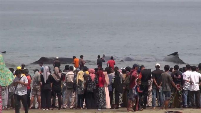 Des cachalots échoués en Indonésie : cinq ont survécu