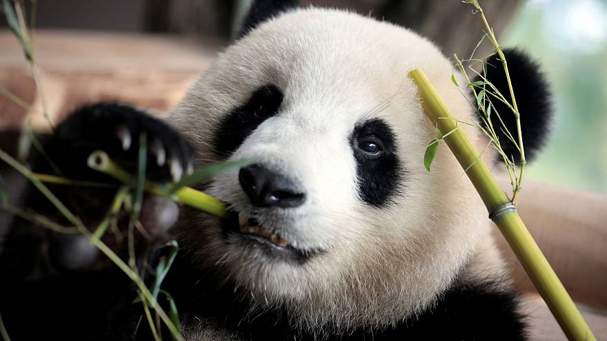 Панда Нуань-Нуань возвращается домой