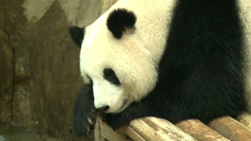 Malezya'nın sevimli pandası Çin yolunda