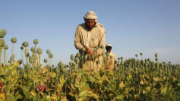 رکورد تولید تریاک در افغانستان شکست