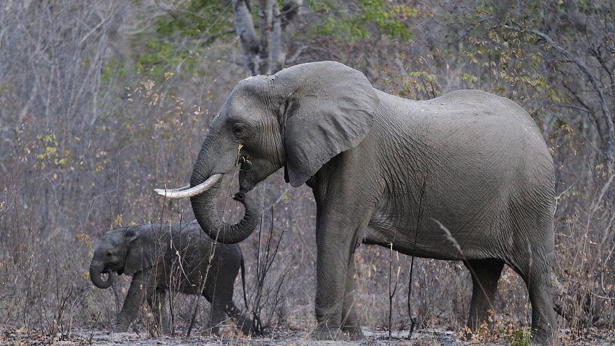 جنجال بر سر اعطای مجوز واردات لاشه و عاج فیل به آمریکا