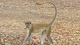 Alerte aux singes verts en Guadeloupe