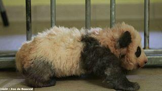شاهد الخطوات الأولى لصغير باندا بحديقة حيوانات فرنسية