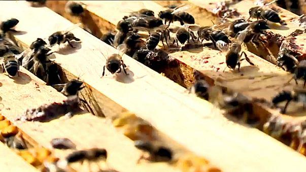 Abelhas sem comida são alimentadas a açúcar em Portugal