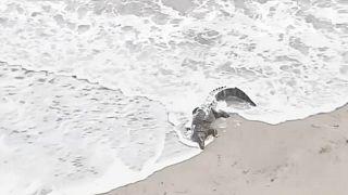 بالفيديو: تمساح على شاطئ هوليوود يثير الرعب والإثارة