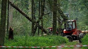 Poland facing huge fines over ancient forest logging