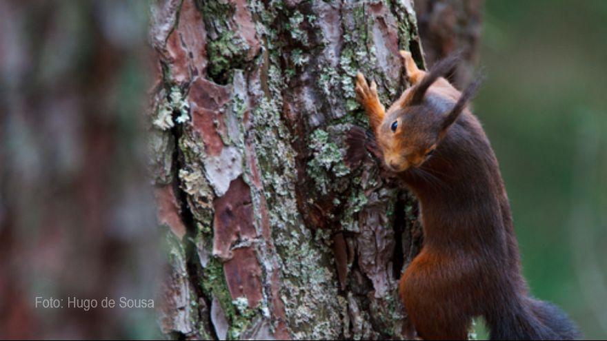 Esquilos reconquistam Portugal