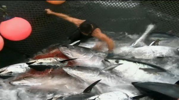 Квота на отлов голубого тунца увеличится