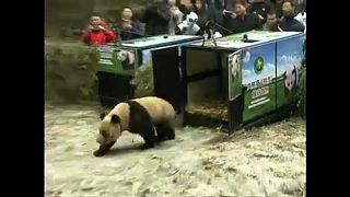 Pandákat engedtek ki a vadonba