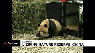 China releases a pair of giant pandas into the wild