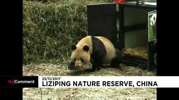 Retour à la nature pour deux pandas géants