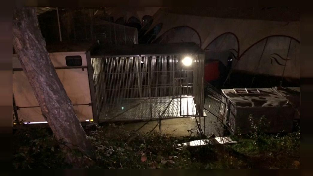 Tigre que andava à solta em Paris foi abatido