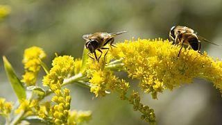 راه تولید حشرهکش مهربان با زنبورها کشف شد