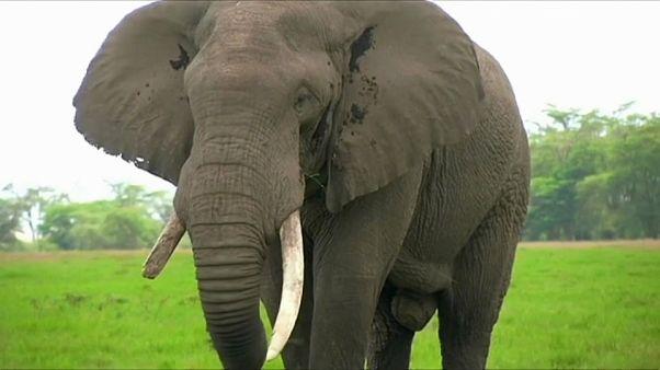 Elephant poaching falls in Eastern Africa