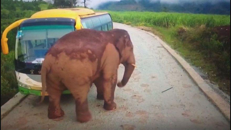 حمله فیل به دو خودرو در چین