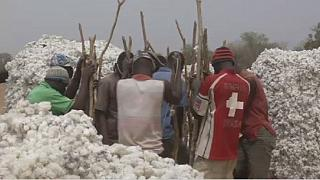 Genetically modified cotton sowed trouble in Burkina Faso