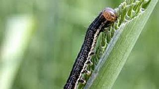 Malawi; state of disaster declared in 'fall army worm' affected districts