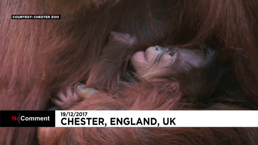 İngiltere'de yavru orangutan görücüye çıktı