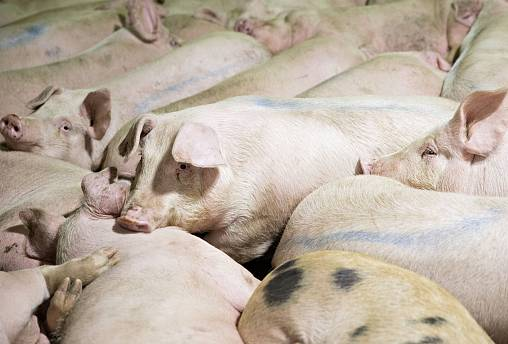 Image: Pork Processing