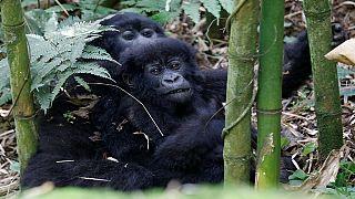 山地大猩猩族群,卢旺达发布的人口普查数据