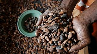 Cameroon's Anglophone crisis fuels cocoa smuggling to Nigeria