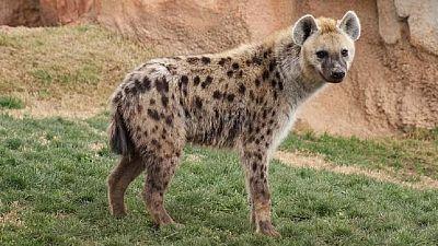 Gabon : retour d'une hyène tachetée, espèce qu'on croyait localement disparue