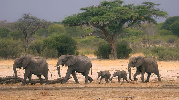 Image: A herd of elephants in Hwange National Park, Zimbabwe, on Nov. 10, 2