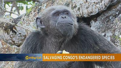 Congo: sauver les espèces de chimpanzés en voie de disparition