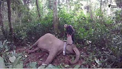 Gabon : des colliers GPS pour protéger les éléphants