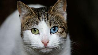 Belgium: kötelező ivartalanítani a macskákat