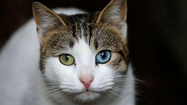 Belçika'da kediler kısırlaştırılıyor
