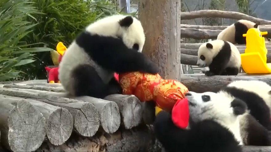 ویدئوی بازیگوشی پانداها در آستانه سال نو چینی