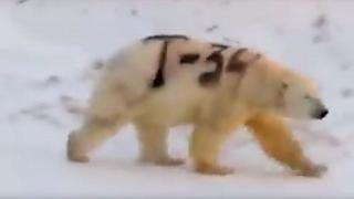 "The video posted on Facebook appears to show a polar bear in Russia with ""T"